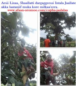 Copha JAALALAA - Afaan Oromo Online   Marsariitii Barnoota